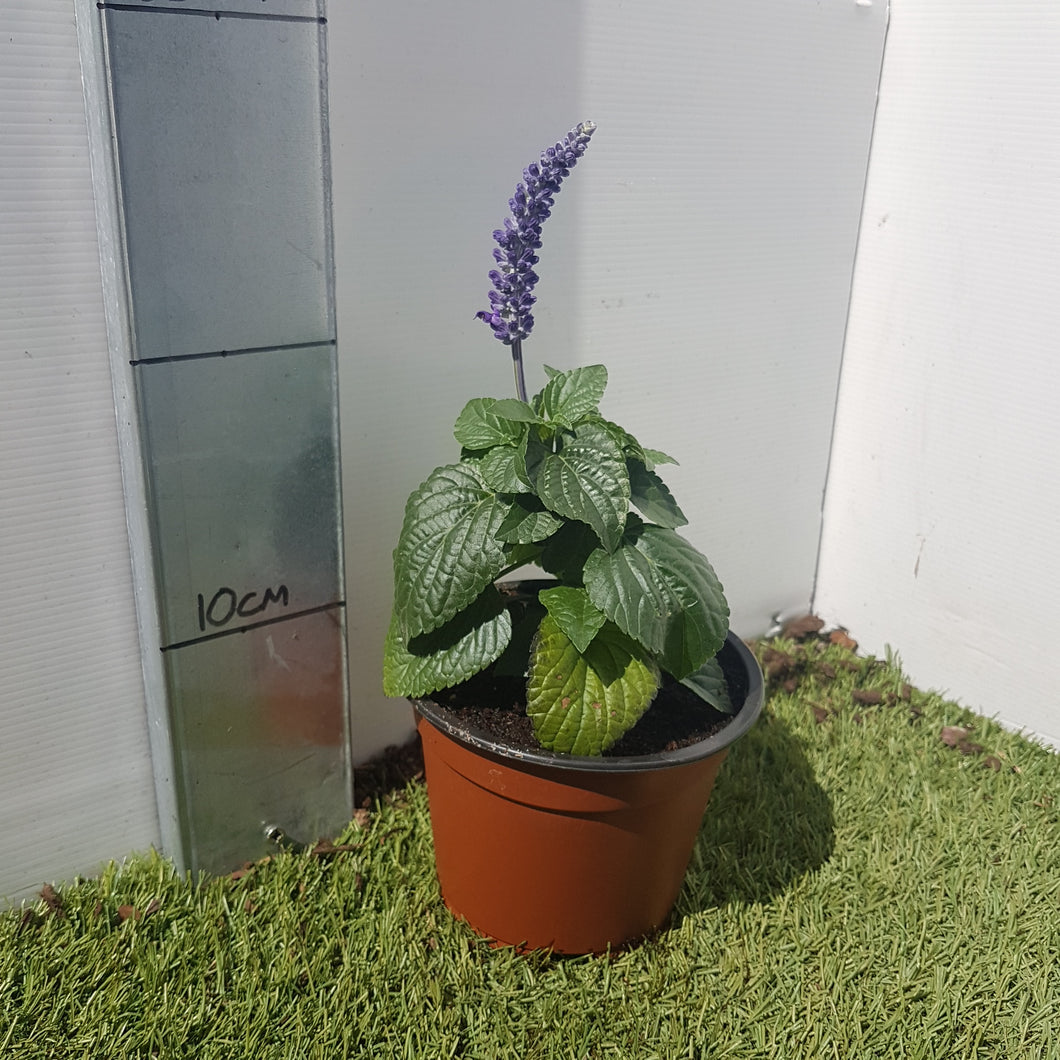 Salvia 'Blue' 13cm pot