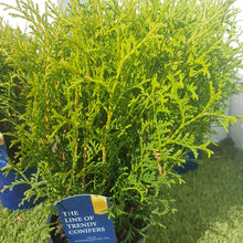 Load image into Gallery viewer, Thuja Occidentallis 'Tiny Tim'
