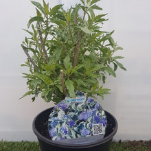 Load image into Gallery viewer, Caryopteris X Clandonensis White Surprise