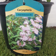 Load image into Gallery viewer, Caryopteris Pink Perfection