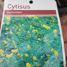 "Load image into Gallery viewer, Cytisus ""Batianderi"""