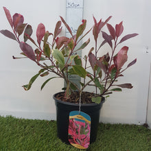 Load image into Gallery viewer, Photinia 'X Fraseri Louise'