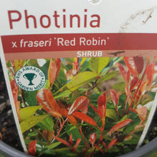 Load image into Gallery viewer, Photinia 'X Fraseri Red Robin'
