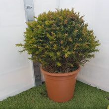 Load image into Gallery viewer, Taxus Baccata 'English Yew'