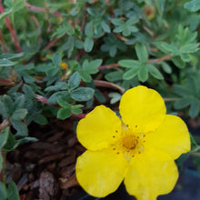Load image into Gallery viewer, Potentilla 'Medicine-Wheel Mountain'