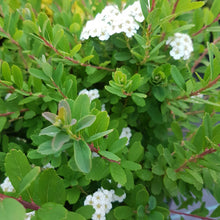 "Load image into Gallery viewer, Spiraea nipponica "" Snowmound"""