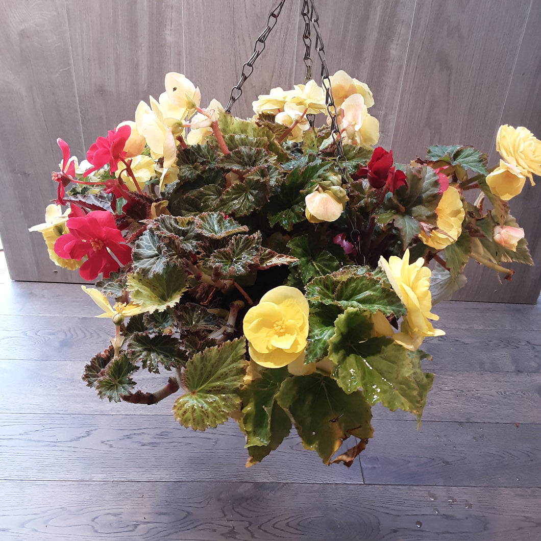 Begonia Autumn Hanging Basket