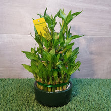 Load image into Gallery viewer, Lucky Bamboo, Dracaena Sandriana