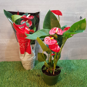 Anthurium. Royal Red. Christmas Special