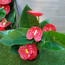 Load image into Gallery viewer, Anthurium. Royal Red. Christmas Special