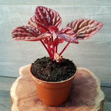 Load image into Gallery viewer, Peperomia Cape Quito (7cm)