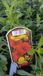 Calibrachoa Double Red