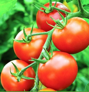 "Tomato Plant ""Moneymaker"""