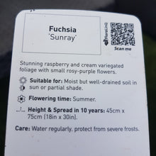 Load image into Gallery viewer, Fuchsia 'Sunray'
