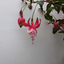 Load image into Gallery viewer, Fuchsia 'Prosperity' 3ltr