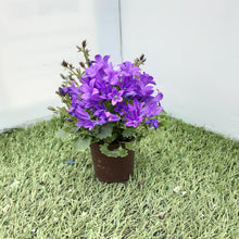 Load image into Gallery viewer, Campanula Purple 'Get Me' 9cm
