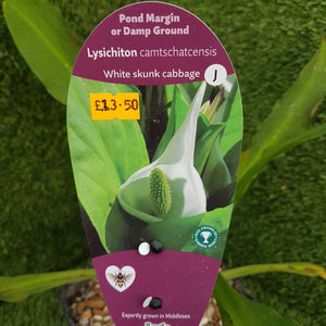3ltr Lysichiton Camtschatcensis 'White Skunk Cabbage'