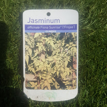 Load image into Gallery viewer, 3ltr Jasminum officials Fiona Sunrise 'Frojas'