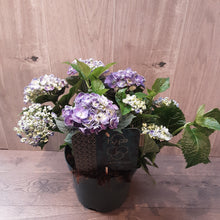Load image into Gallery viewer, Hydrangea Curly Wurly Blu 45cm