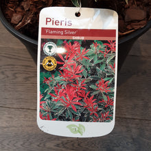 Load image into Gallery viewer, Pieris 'Flaming Silver'