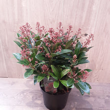 Load image into Gallery viewer, Skimmia Japonica 'Rubella'