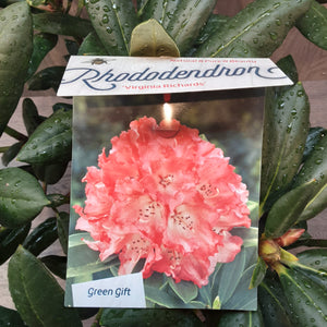 Rhododendron 'Virginia Richards'