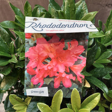 Load image into Gallery viewer, Rhododendron 'Scyphocalix'