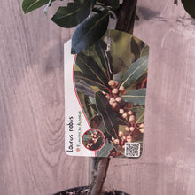 Load image into Gallery viewer, Laurus Nobalis 65cm