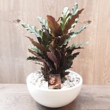 Load image into Gallery viewer, Calathea Rufibara Tropis (35cm)