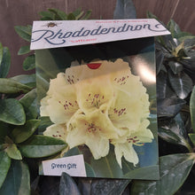 Load image into Gallery viewer, Rhododendron 'Saffrano'