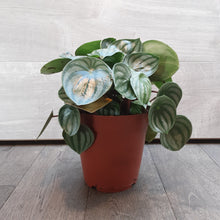 Load image into Gallery viewer, Peperomia Argyreia 'Watermelon'