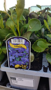 Lobelia Waterfall Blue