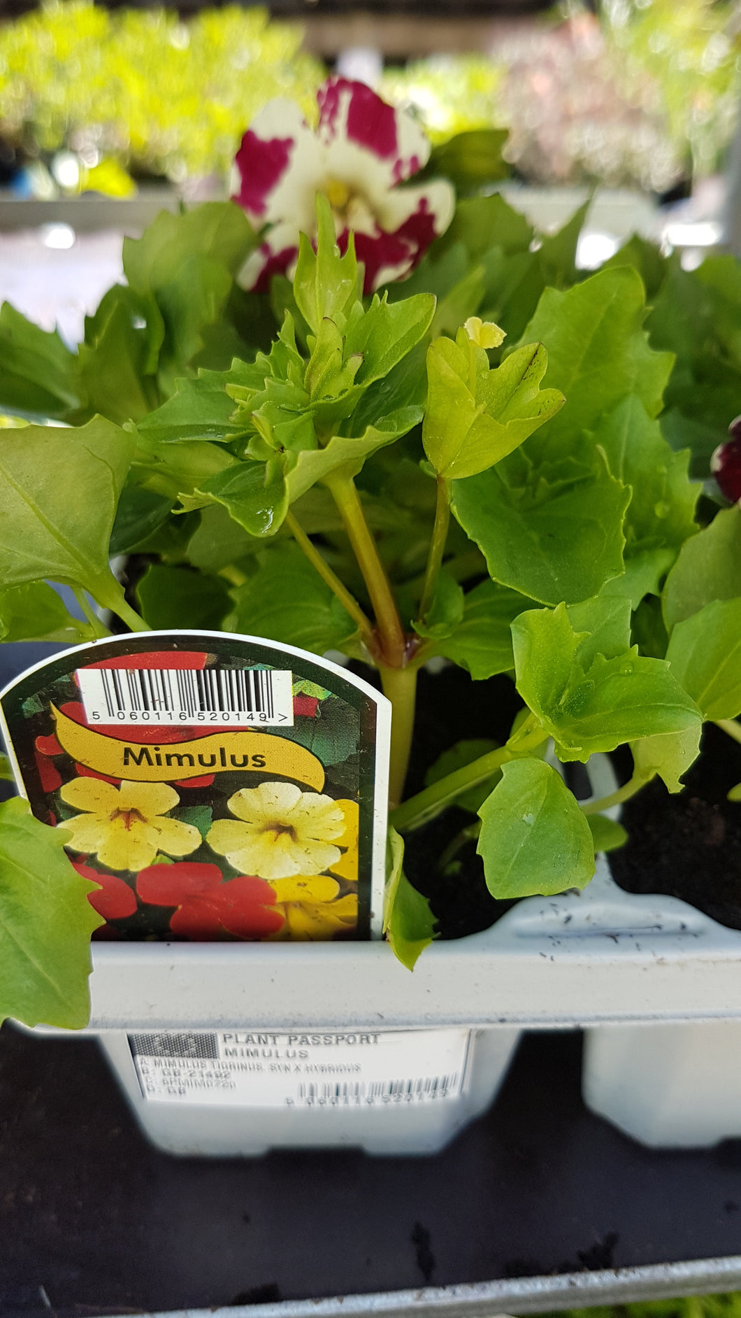 Mimulus Mixed