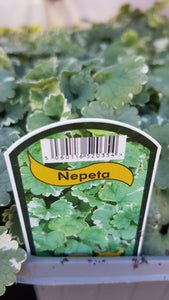 Nepeta Variegated Green & White