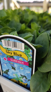 Surfinia Sky Blue