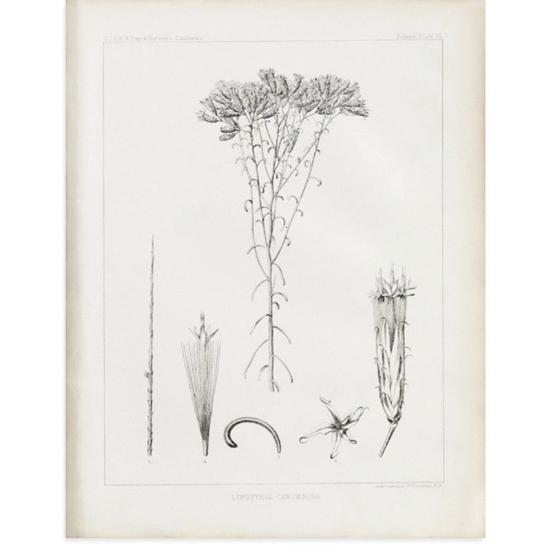 Botany Plate VI, Linosyris Ceruminosa by Found Art | Found Art | Poster Child Prints