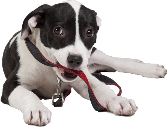 a mixed breed dog holding a leash.