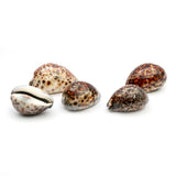 Decoratief object Cowrie Shell