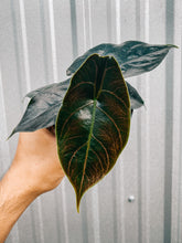 "Load image into Gallery viewer, 4"" Alocasia 'Azlanii'"