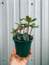 "Load image into Gallery viewer, 4"" Peperomia 'Stilt'"