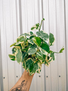 "6"" Pothos 'Pearls and Jade'"