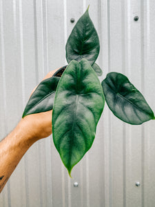 "4"" Alocasia 'Reversa' (2 DAY SHIPPING UPGRADE INCLUDED)"