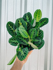 "6"" Maranta Leuconeura Lemon Lime 'Prayer Plant'"