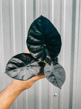 "Load image into Gallery viewer, 4"" Alocasia 'Infernalis' (2 DAY SHIPPING UPGRADE INCLUDED)"