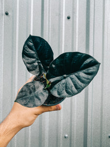 "4"" Alocasia 'Infernalis' (2 DAY SHIPPING UPGRADE INCLUDED)"