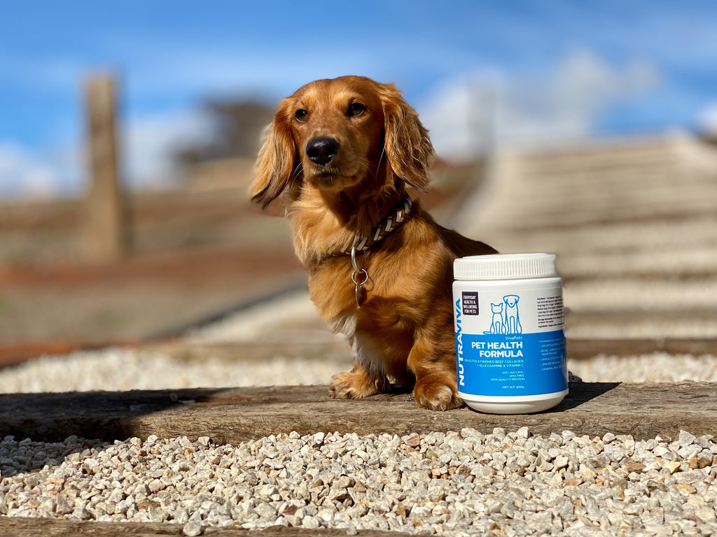 long haired daschund with Nutraviva pet health collagen formula