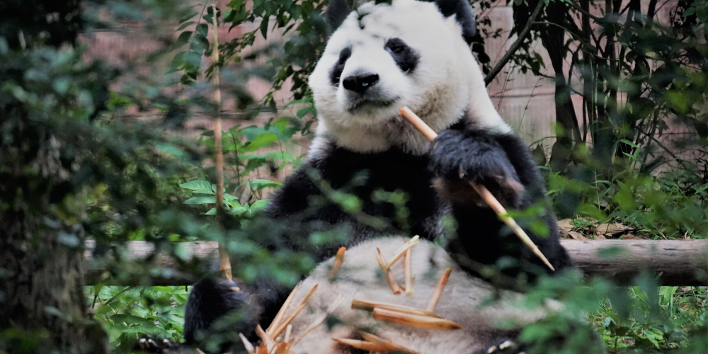 GIANT PANDA VIRTUAL TOUR