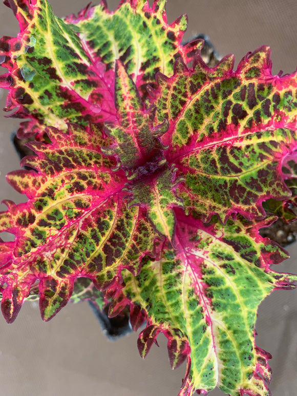 Coleus - Peters Wonder
