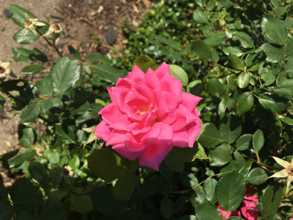 Rose Food 4-2-4 Organic Fertilizer