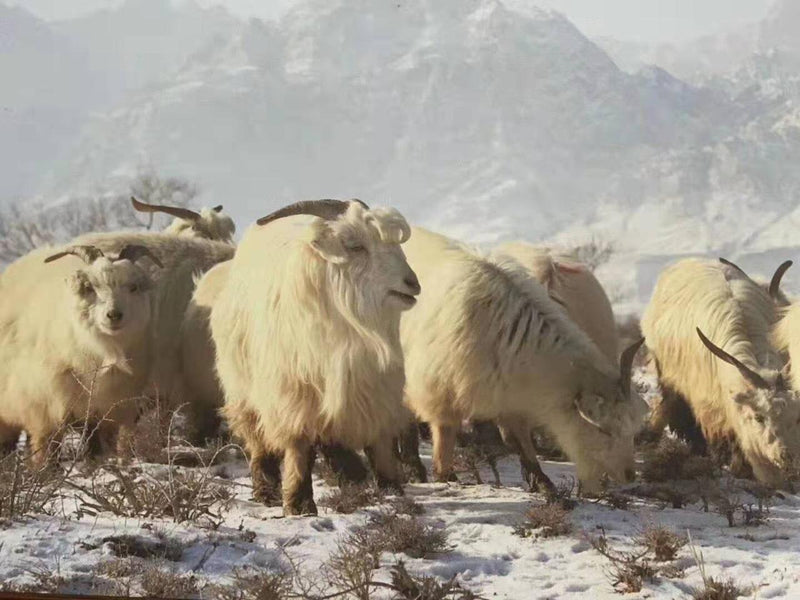 The History and Origins of Cashmere Goats